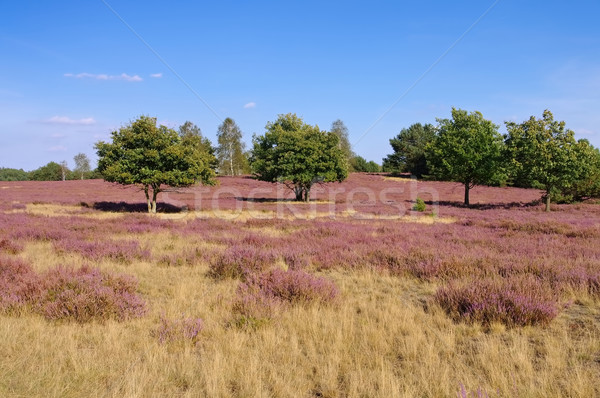 Heath landscape with flowering Heather Stock photo © LianeM