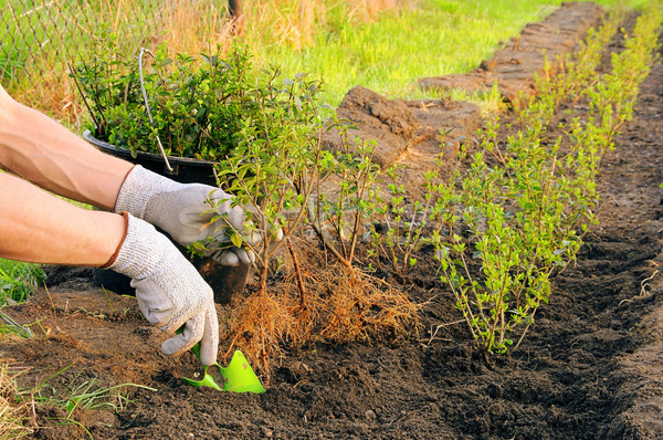 planting a hedge 05 Stock photo © LianeM