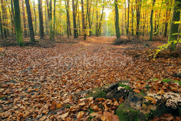 beech forest with trail 03 Stock photo © LianeM