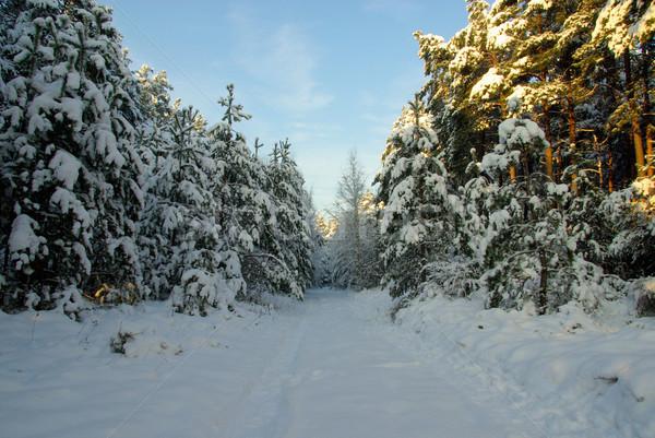 森林 冬 60 緑 ストックフォト © LianeM