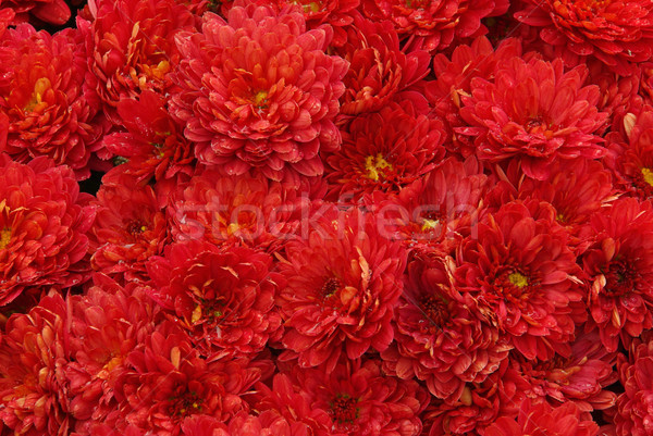 Krizantém természet kert szépség nyár piros Stock fotó © LianeM