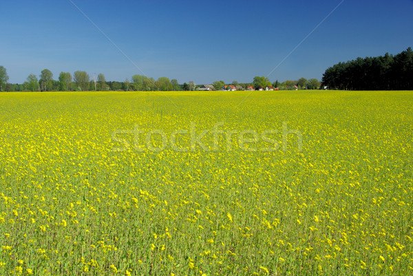 rape field and village 04 Stock photo © LianeM