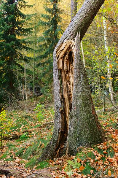 Fa fa természet vihar szél halott Stock fotó © LianeM