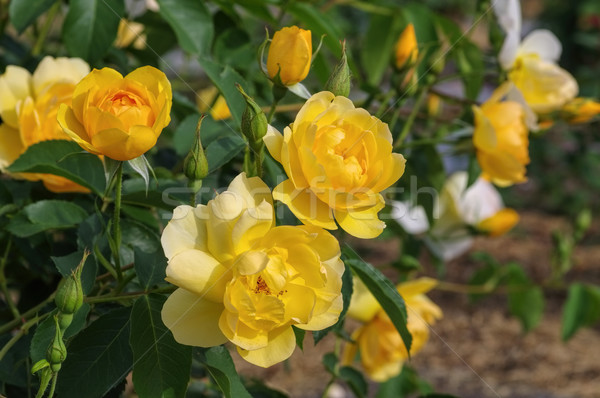 yellow English Rose Buttercup Stock photo © LianeM
