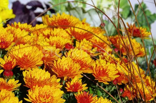 chrysanthemum  Stock photo © LianeM