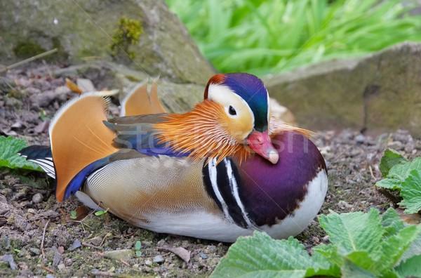 Mandarin canard nature plumes animaux Photo stock © LianeM