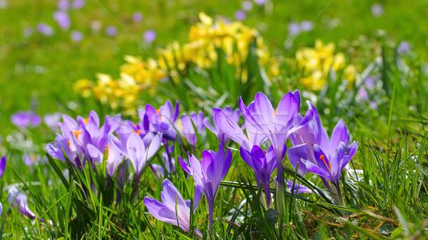 Açafrão flores jardim inverno planta gramado Foto stock © LianeM