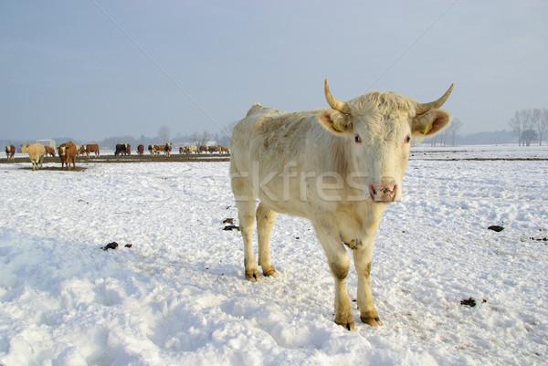 cow 42 Stock photo © LianeM