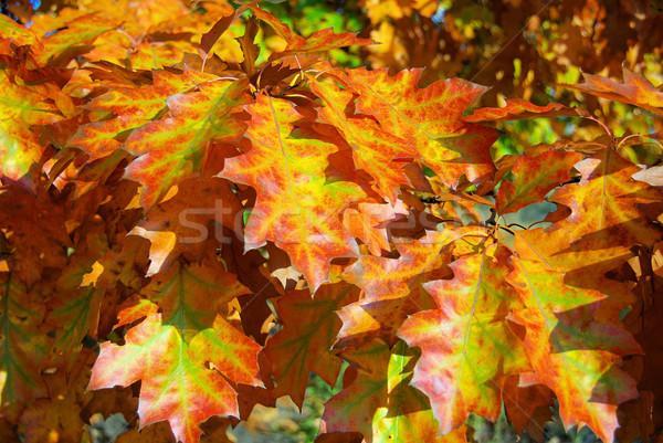 Stock photo: Oak leaf cluster 10
