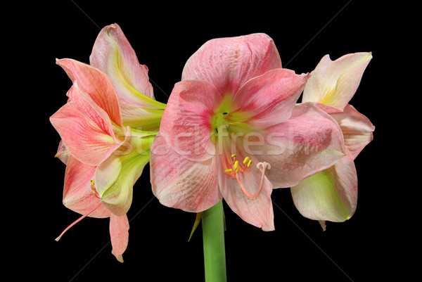 Zwarte 17 bloem natuur blad achtergrond Stockfoto © LianeM