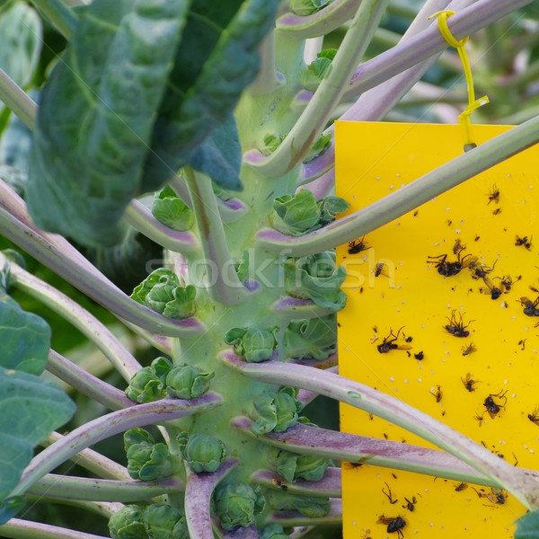 yellow insect stick  Stock photo © LianeM