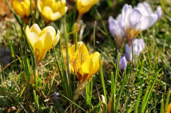 Kikerics tavasz kert növény rózsaszín legelő Stock fotó © LianeM