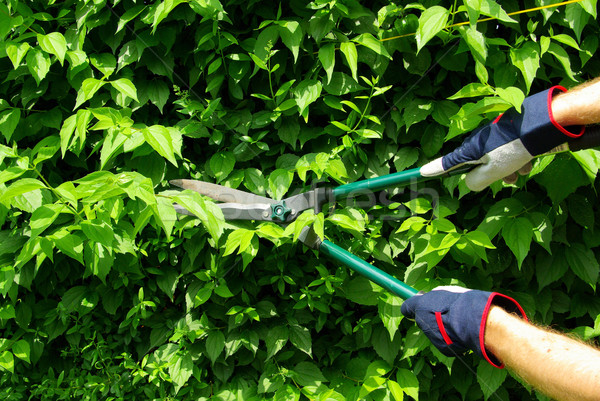 cut a hedge 10 Stock photo © LianeM
