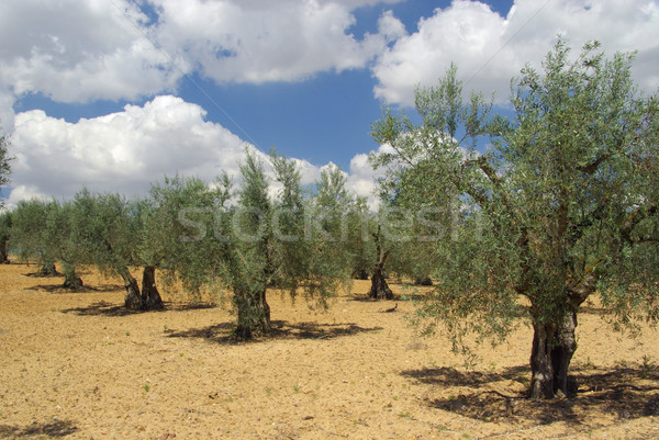 olive grove 11 Stock photo © LianeM