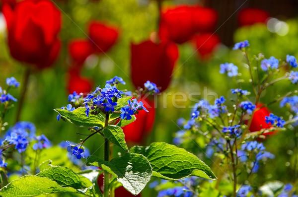 Lâle çim doğa yeşil yatak bitki Stok fotoğraf © LianeM
