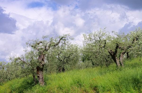 Olivo Toscana cielo árbol madera naturaleza Foto stock © LianeM