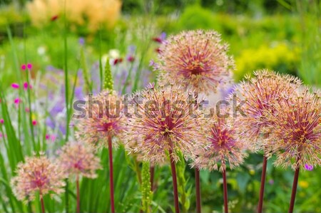 Stock photo: ornamental onion Allium, purple flower balls