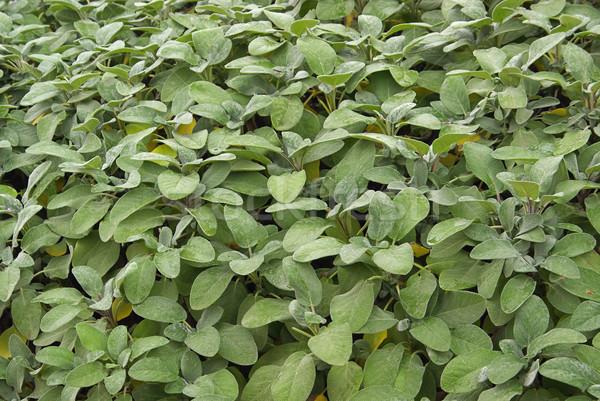 Sauge fond herbes Photo stock © LianeM