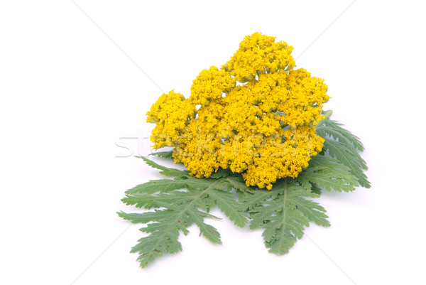 Yarrow 03 Stock photo © LianeM