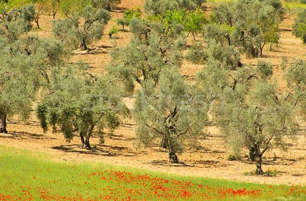 Olajfa fa természet tájkép kukorica olajbogyó Stock fotó © LianeM