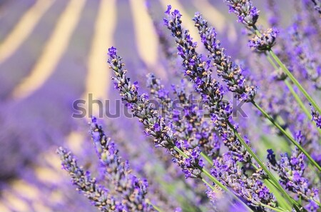 lavender field 17 Stock photo © LianeM