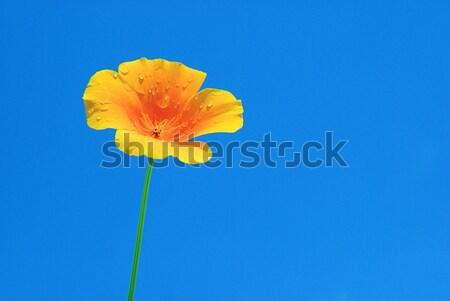 カリフォルニア ケシ 空 太陽 光 黄色 ストックフォト © LianeM