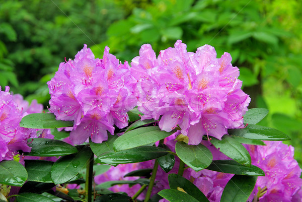 Rhododendron 15 Stock photo © LianeM