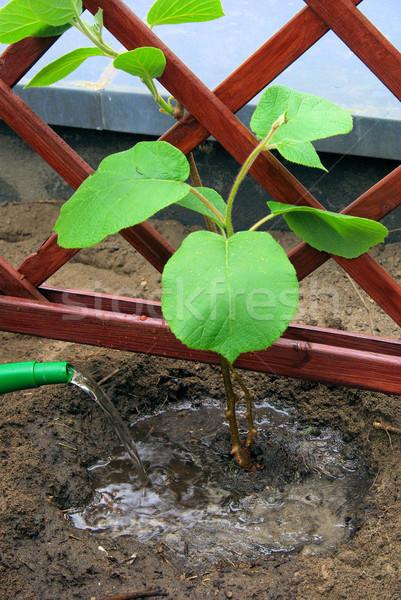 planting a kiwi plant  Stock photo © LianeM