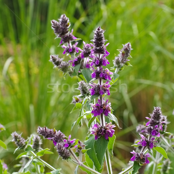 Stachys persica, aa ornamental plant lambs ears Stock photo © LianeM