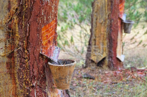pine forest resin extraction  Stock photo © LianeM