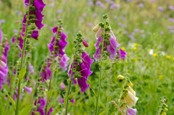 the purple flowers Common Foxglove Stock photo © LianeM