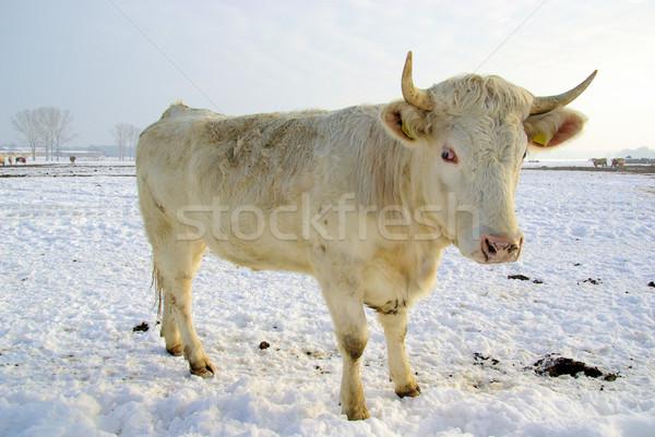cow 43 Stock photo © LianeM