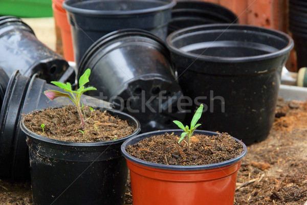 tomato plant 31 Stock photo © LianeM