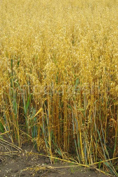oat field 02 Stock photo © LianeM