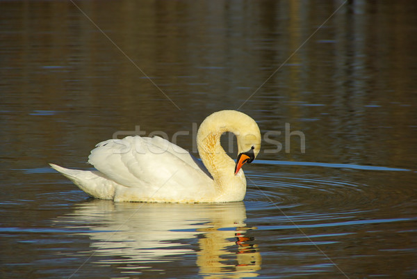 Cygne bleu animaux Photo stock © LianeM