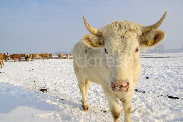 cow  Stock photo © LianeM