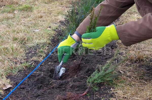 planting a taxus hedge 01 Stock photo © LianeM