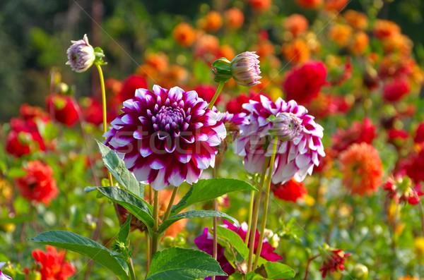 Dalia kwiat charakter liści zielone czerwony Zdjęcia stock © LianeM