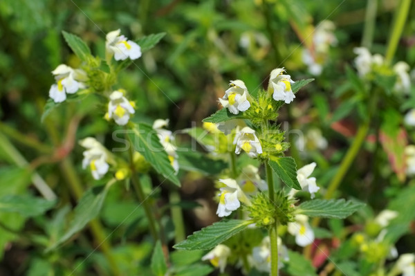 the herbal plant  Downy Hemp-nettle Stock photo © LianeM