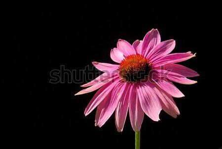 Mor 19 bahçe kırmızı siyah bitki Stok fotoğraf © LianeM