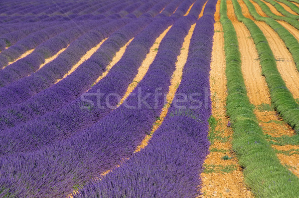 Lavendelfeld Ernte - lavender field harvest 02 Stock photo © LianeM