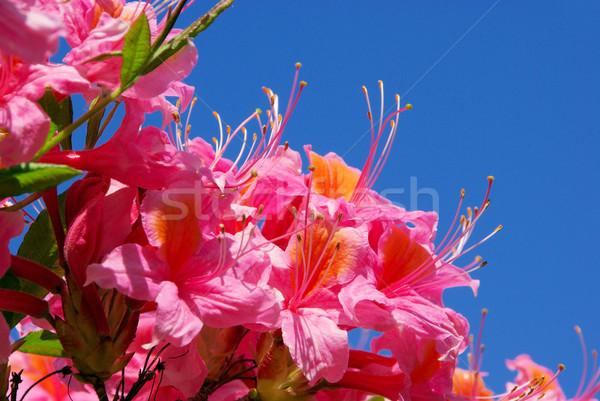 Azalea hemel tuin achtergrond Rood plant Stockfoto © LianeM