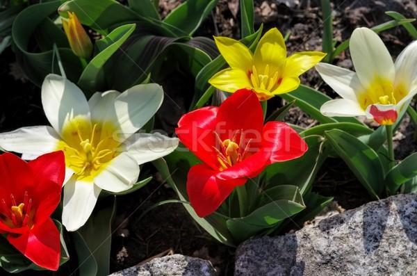 wild tulip Tulipa kaufmanniana  Stock photo © LianeM