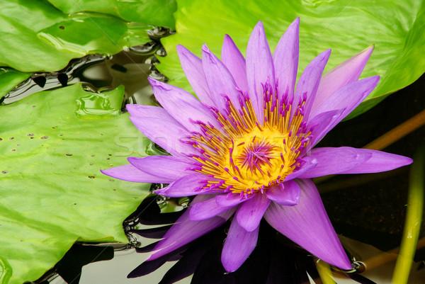 Víz liliom 13 Stock fotó © LianeM
