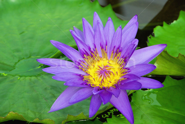 water lily 21 Stock photo © LianeM