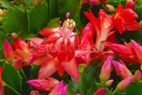 Christmas cactus 03 Stock photo © LianeM