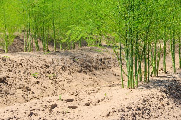 asparagus field 19 Stock photo © LianeM