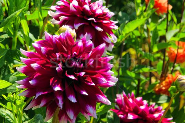 Dalya çiçek doğa yaprak yeşil mor Stok fotoğraf © LianeM