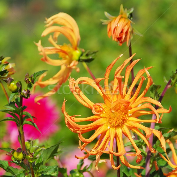 георгин цветок природы лист зеленый красный Сток-фото © LianeM