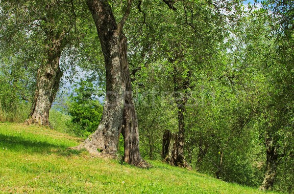 Olijfboom boom hout natuur bladeren tak Stockfoto © LianeM